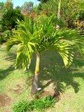 Manilla Palm (Veitchia merrillii)_