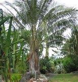 Boliviaanse bergkokosnoot (Parajubaea torallyi var. microcarpa)_