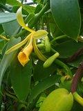 Vanille-orchidee (Vanilla planifolia)_