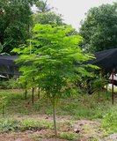 Moringa (Moringa oleifera)_