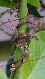 Hopwarkruid (Cuscuta lupuliformis)_