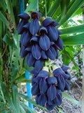 Zwarte jadebloem (Mucuna nigricans)_