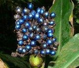 Marmerbes (Pollia condensata)_