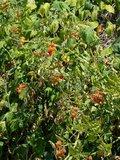 Wilde tomaat (Solanum pimpinellifolium)_