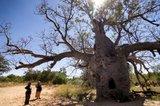 Australische baobab (Adansonia gregorii)_