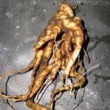 Alruin (Mandragora officinarum)_
