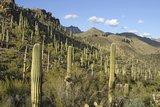 Saguaro cactus (Carnegiea gigantea)_