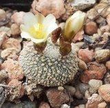 Blossfeldia (Blossfeldia liliputana)_