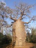 Fony baobab (Adansonia rubrostipa)_