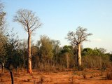Za baobab (Adansonia za)_