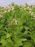 Tabaksplant (Nicotiana tabacum)_