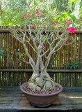 Woestijnroos (Adenium obesum)_