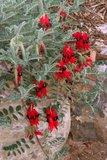 Sturt's woestijnerwt (Swainsona formosa)_