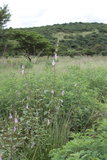Zuid-Afrikaans vingerhoedskruid (Ceratotheca triloba)_
