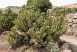 Koeienhoorn Euphorbia (Euphorbia grandicornis)_