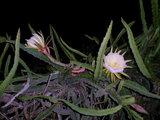 Gele pitahaya (Hylocereus megalanthus)_