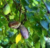 Driebladige chocoladerank (Akebia trifoliata)_