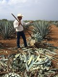 Tequila-agave (Agave tequilana)_