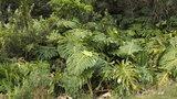 Gatenplant (Monstera deliciosa)_