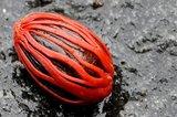 Muskaatboom (Myristica fragrans)_