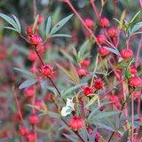 Roselle (Hibiscus sabdariffa)_