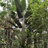 Zuid-Amerikaanse reizigersboom (Phenakospermum guyannense)_