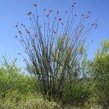 Ocotillo (Fouquieria splendens)_