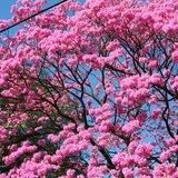 Roze ipé (Handroanthus impetiginosus)_