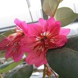 Hong Kong-roos (Rhodoleia championii)_
