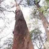 Giant Ash (Eucalyptus regnans)_
