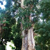 Suikereucalyptus (Eucalyptus viminalis)_