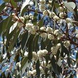 Sneeuweucalyptus (Eucalyptus pauciflora ssp. pauciflora)_