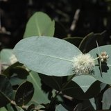 Omea eucalyptus (Eucalyptus neglecta)_