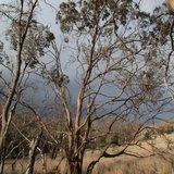 Morrisby's eucalyptus (Eucalyptus morrisbyi)_