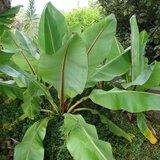Ethiopische banaan (Ensete ventricosum)_