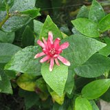 Westelijke specerijstruik (Calycanthus occidentalis)_