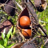 Gele knikkernoot (Caesalpinia ciliata)_