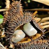 Grijze knikkernoot (Caesalpinia bonduc)_