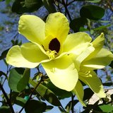 Gele orchideeboom (Bauhinia tomentosa)_