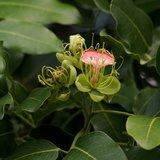 Geluksboonboom (Afzelia quanzensis)_