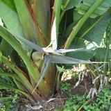 Bergparadijsvogelbloem (Strelitzia caudata)_