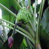 Zoete wilde banaan (Musa balbisiana)_