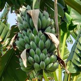 Dwergbanaan (Musa acuminata)_