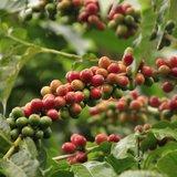 Arabica koffie (Coffea arabica)_