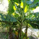 Roodgestreepte Darjeeling banaan (Musa sikkimensis 'Red Flash')_