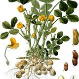 Pinda (Arachis hypogaea)_
