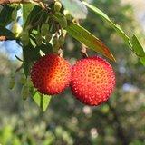 Aardbeiboom (Arbutus unedo)_
