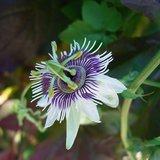 Bospassiebloem (Passiflora morifolia)_