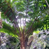 Norfolk boomvaren (Cyathea brownii)_