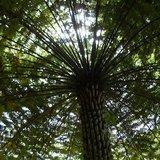 Boomvaren (Cyathea australis)_